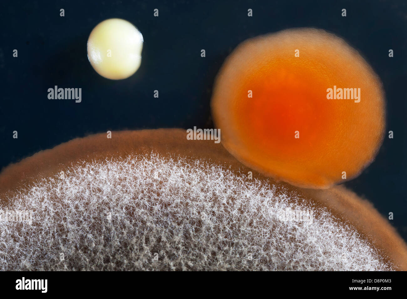 a closeup of a mold (Aspergillus niger) , and bacterial (Staphylococcus aureus) colony on an agar plate. - Stock Image