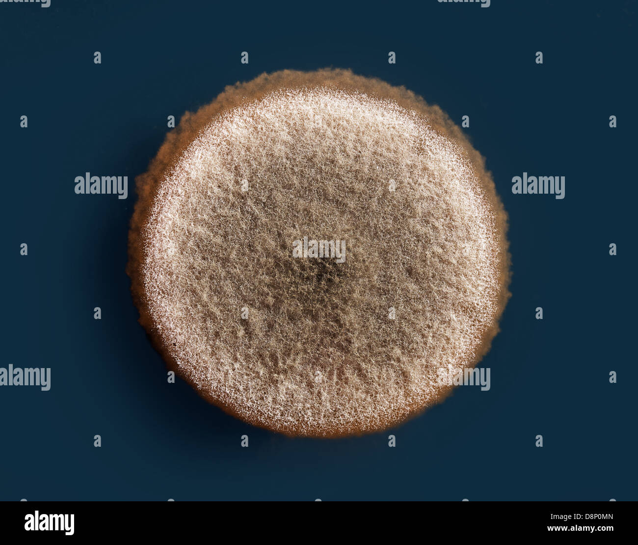 a mold colony on an agar plate (aspergillus niger) - Stock Image