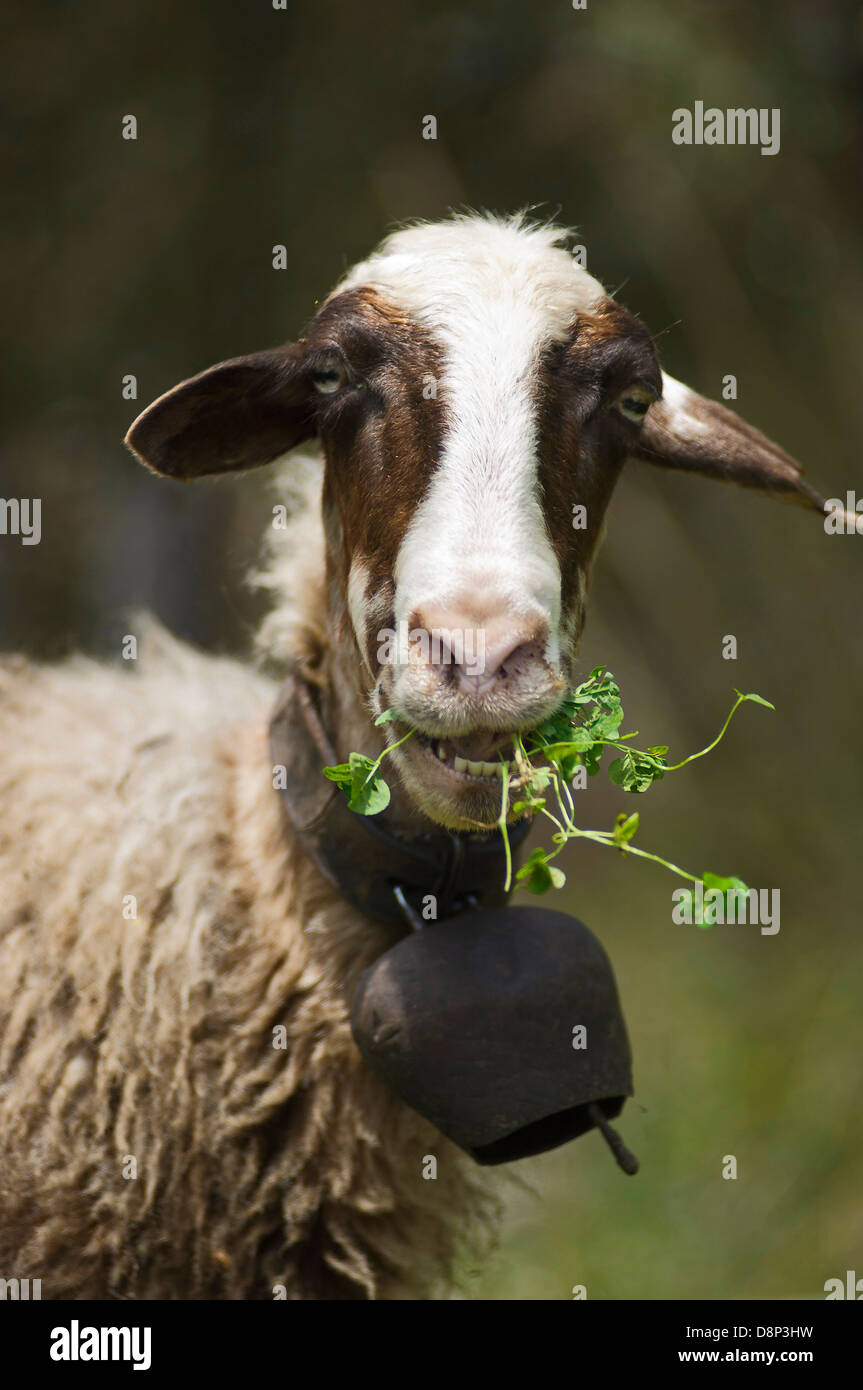 Portrait of a grazing sheep looking at camera (Greece) Stock Photo
