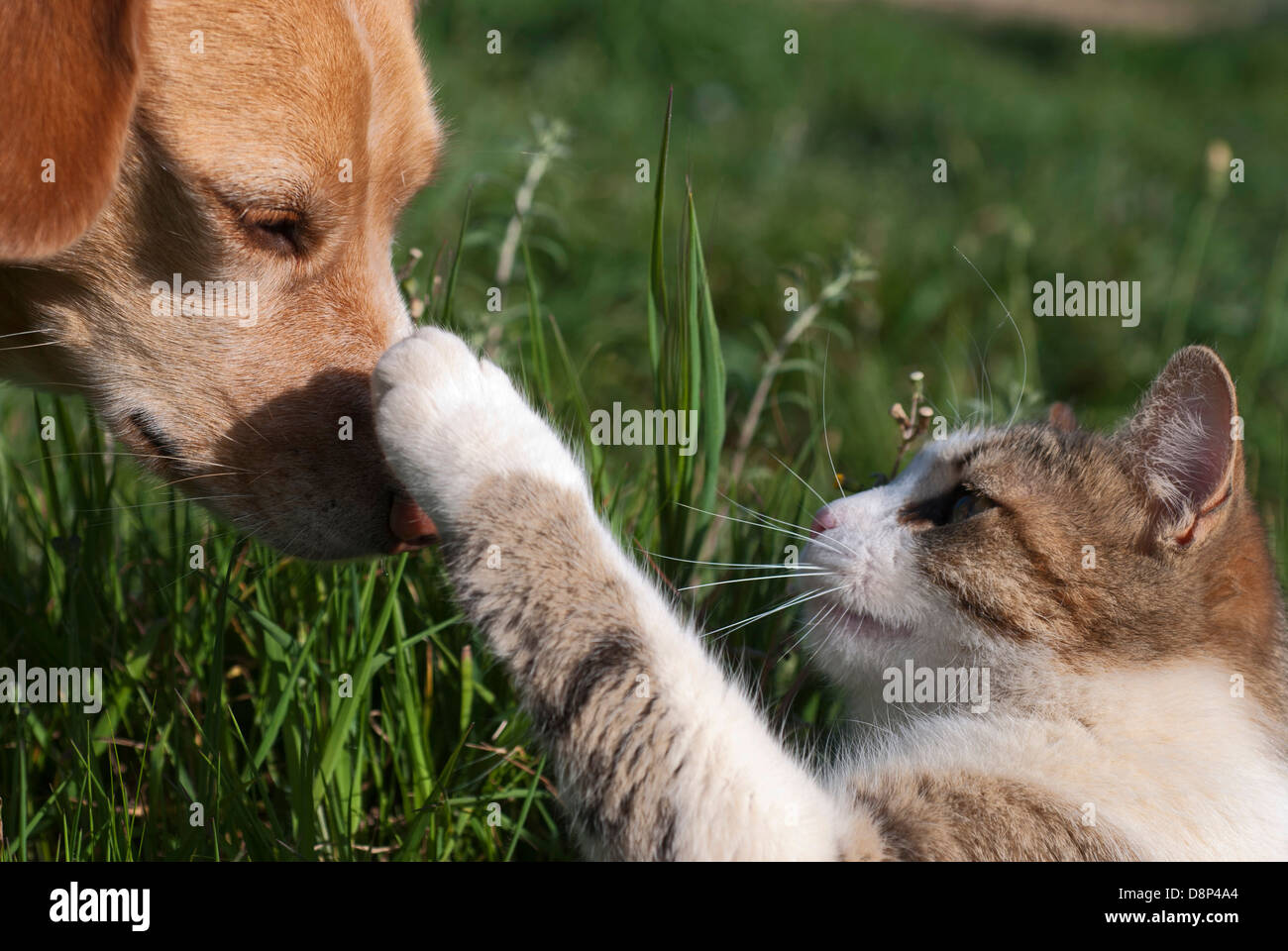 Cat punching dog on the nose - Stock Image