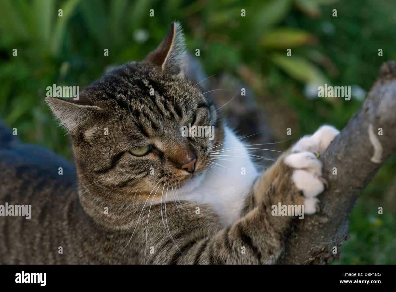 Tabby tomcat sharpening its claws at a tree - Stock Image