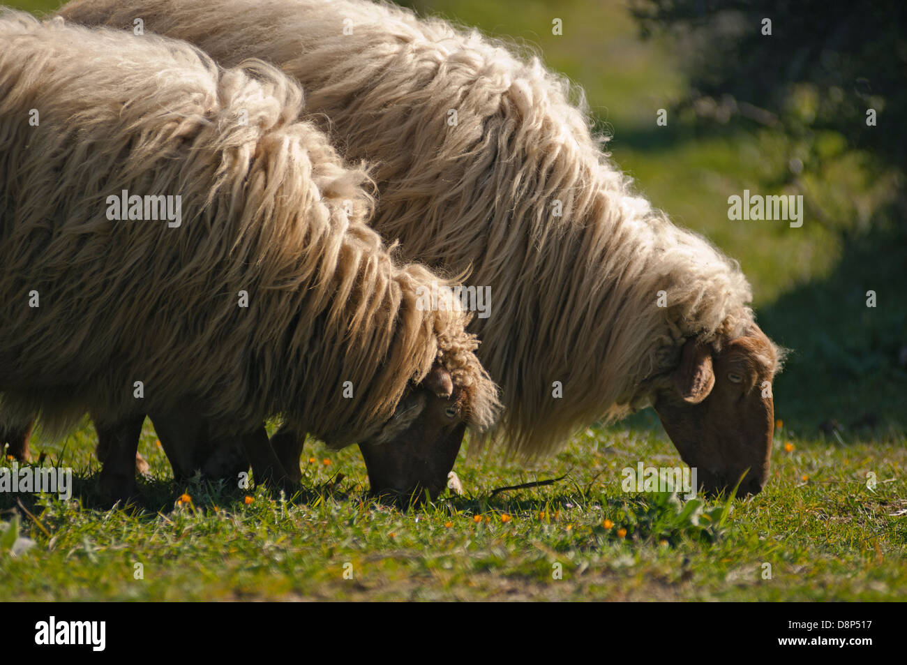 Two sheep grazing side by side (Greece) Stock Photo