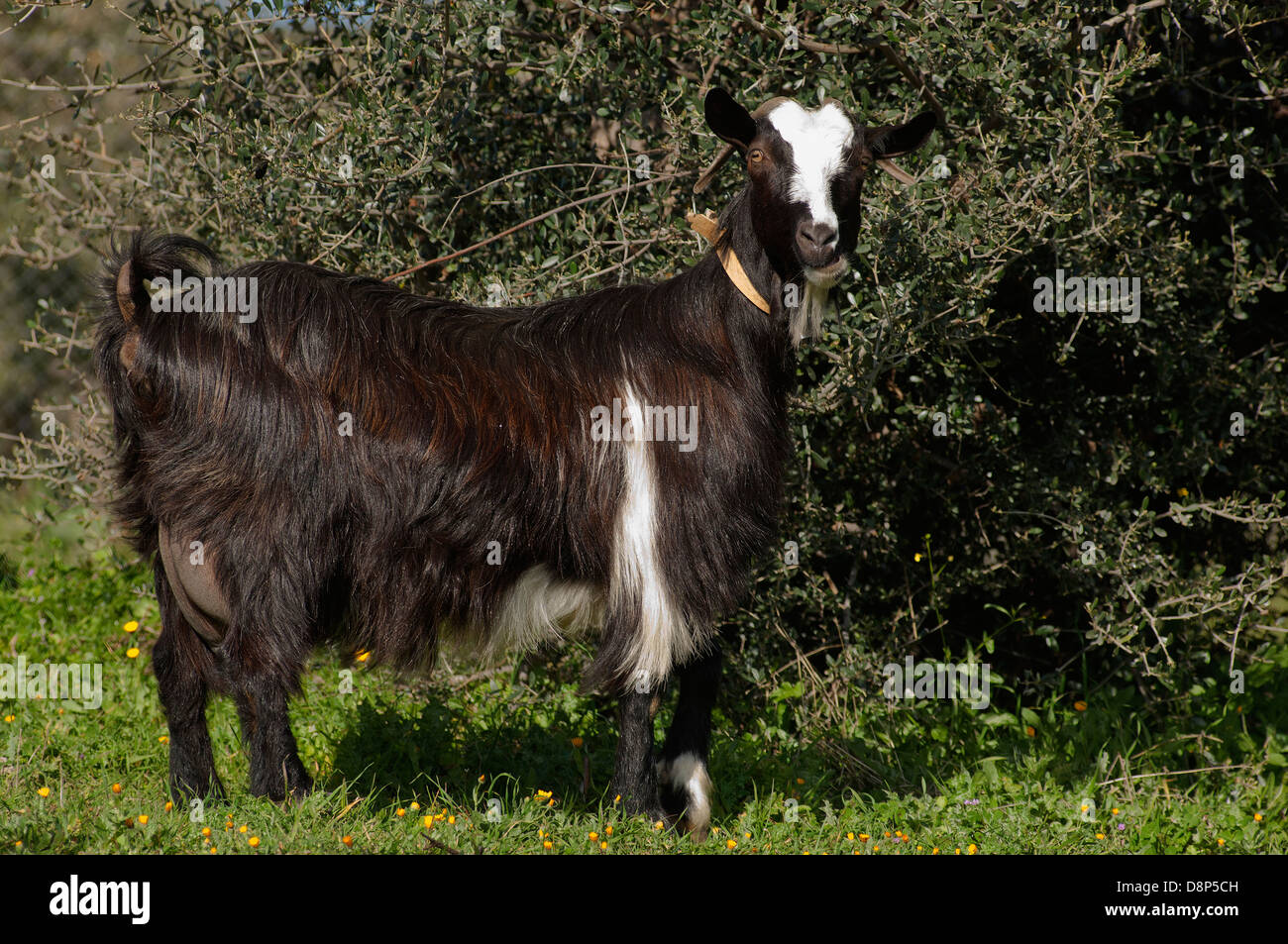 A black and white goat feeding on a bush (Greece) - Stock Image