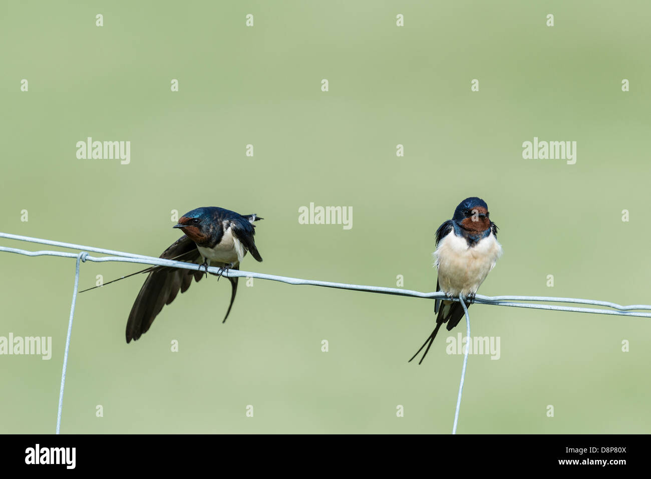 Barn Swallows on a wire fence - Stock Image