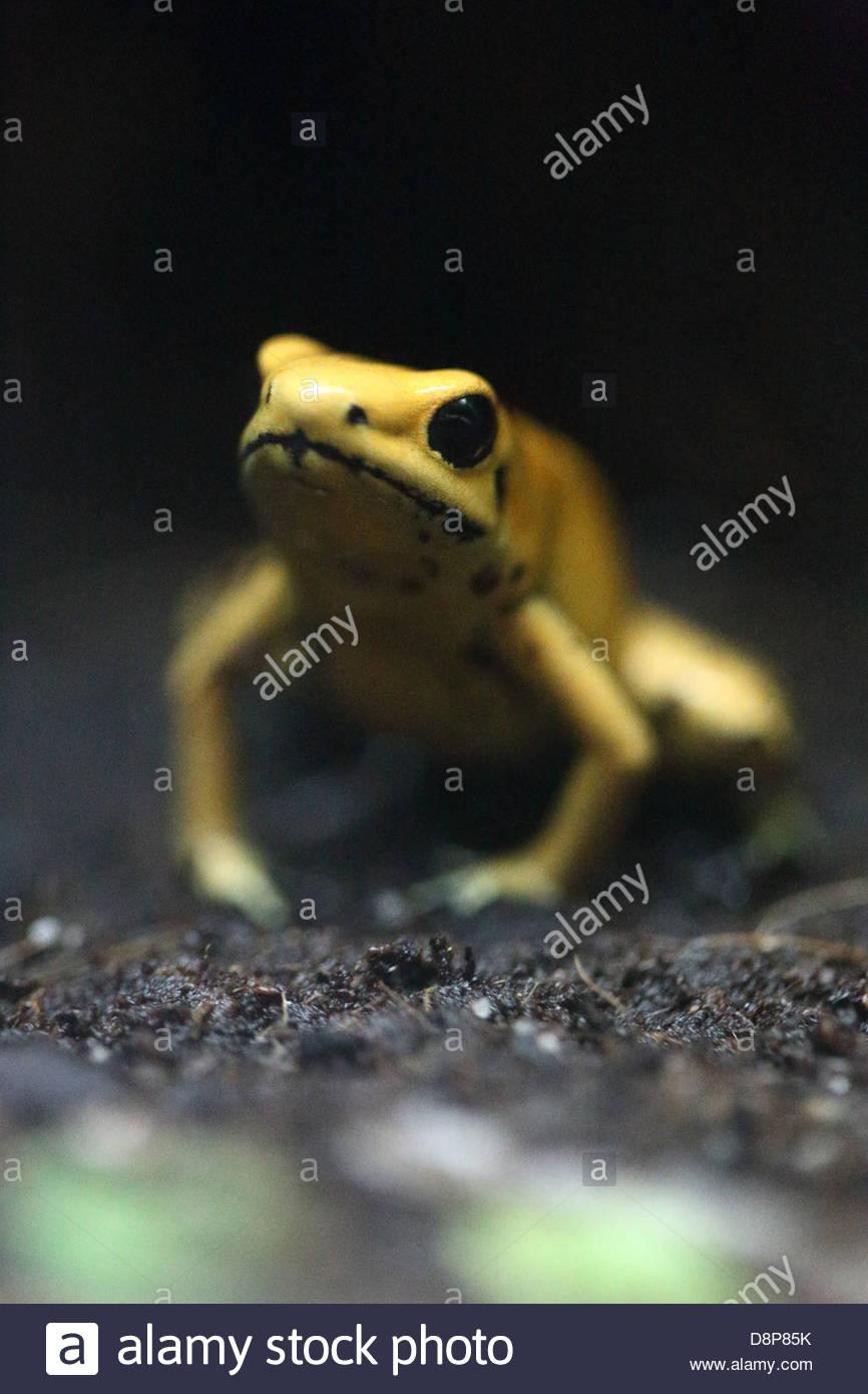 Poison Dart Frog at Bristol Aquarium - Stock Image