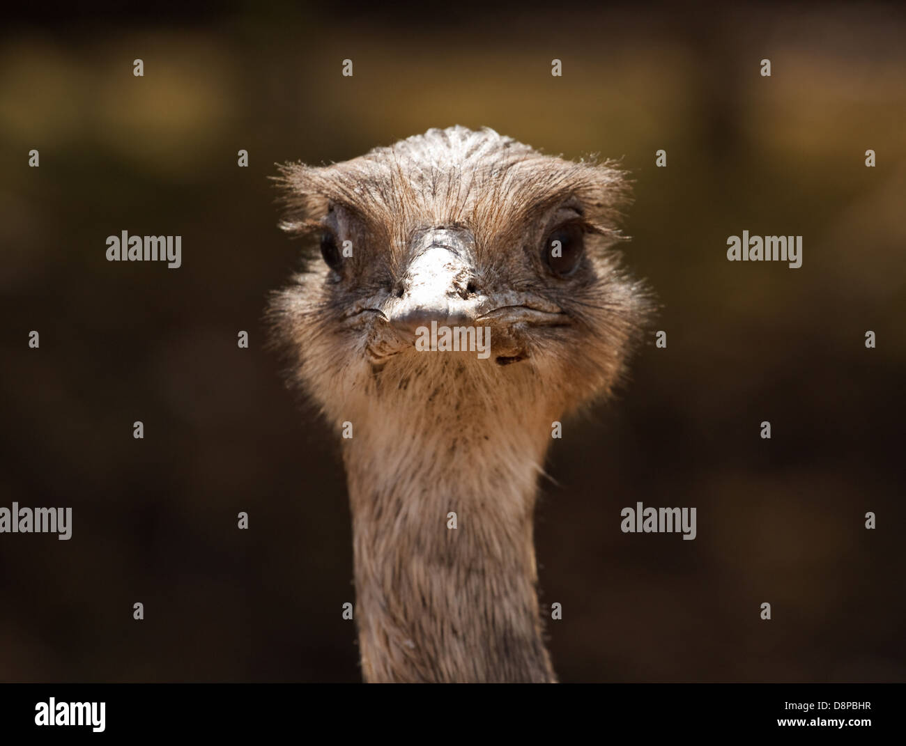Close up shot of ostrich head looking forward for visitor centres or the concept of denial or burying your head - Stock Image