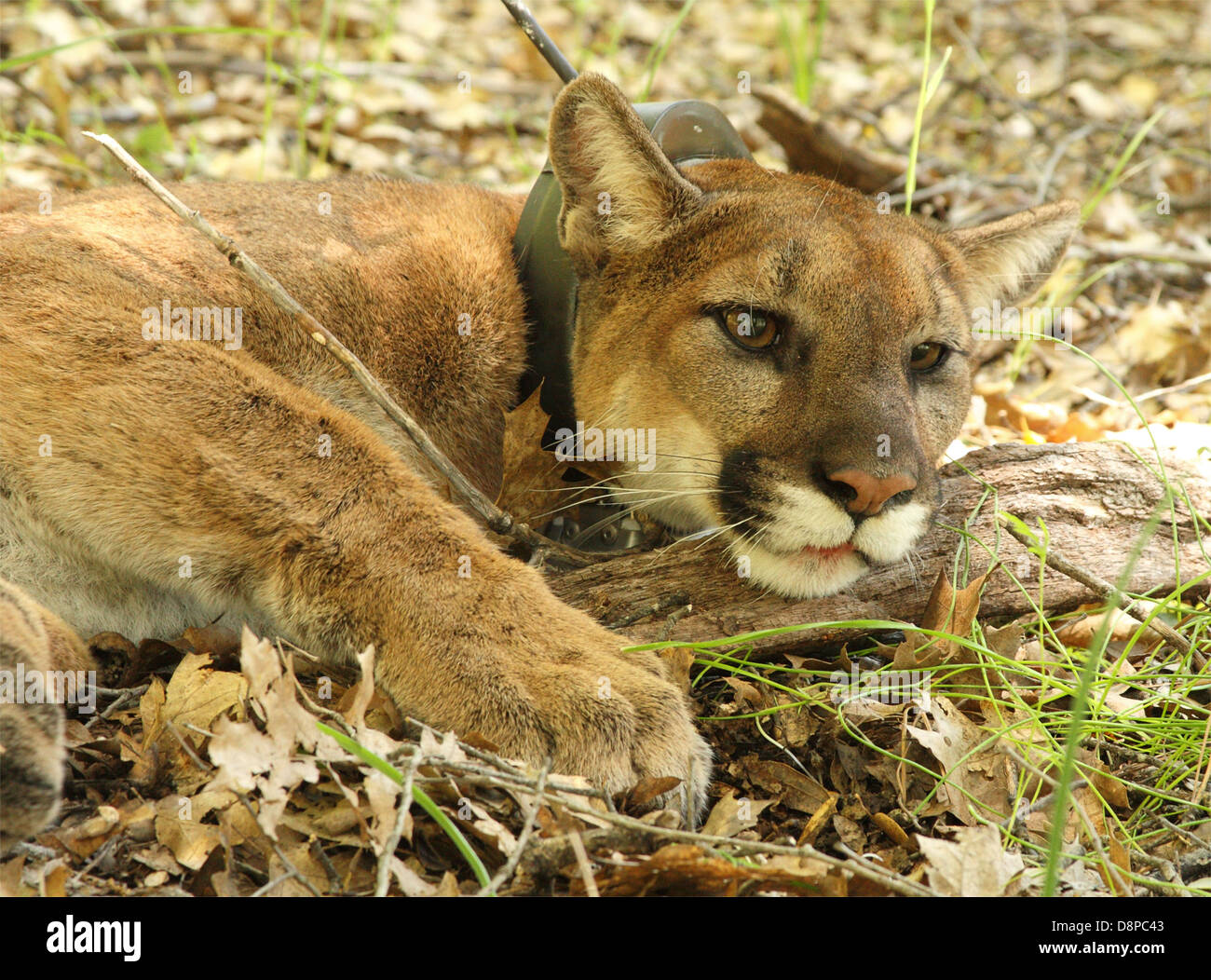 A mountain lion wearing a radio-collar as part of a wildlife research project in California. - Stock Image