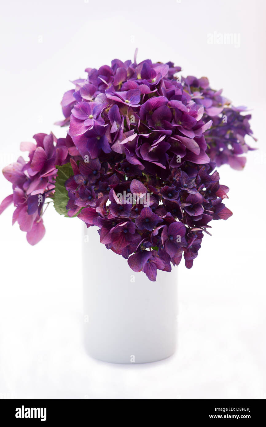 Hydrangeas on white - Stock Image