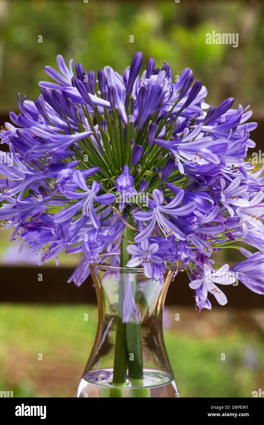 Lily of the nile agapanthus africanus stock photos lily of the african lily agapanthus africanus flowers in a vase stock image izmirmasajfo