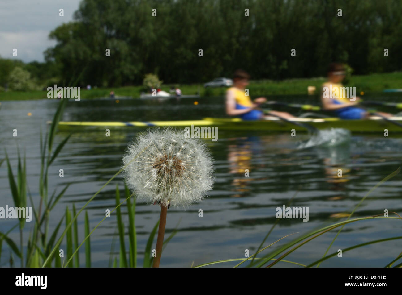 Weather          Peterborough, UK         June 1, 2013          A dandelion clock as rowers go past on the rowing - Stock Image