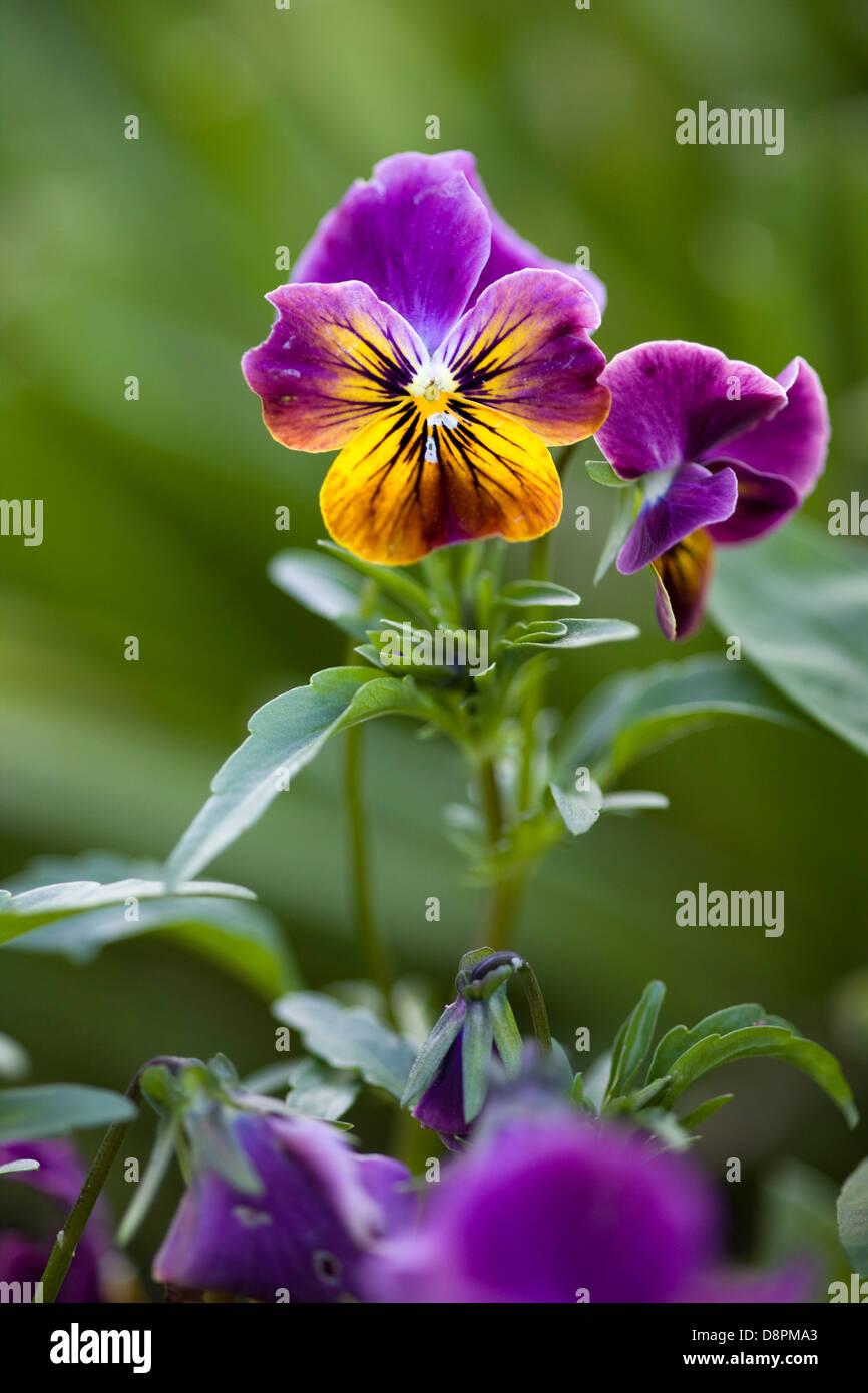 viola x wittrockiana Pansy - Stock Image