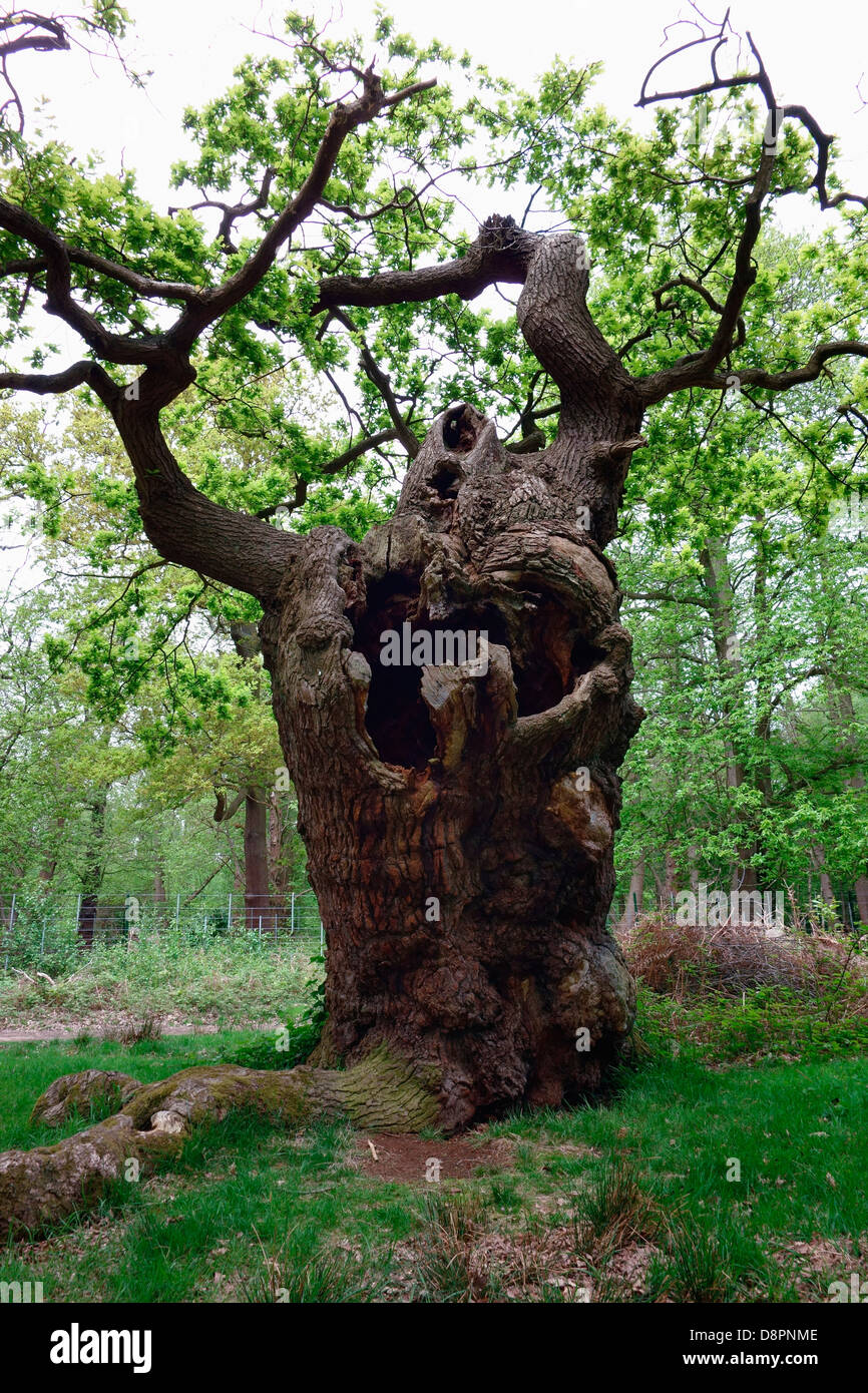 A very ancient Oak tree - Stock Image