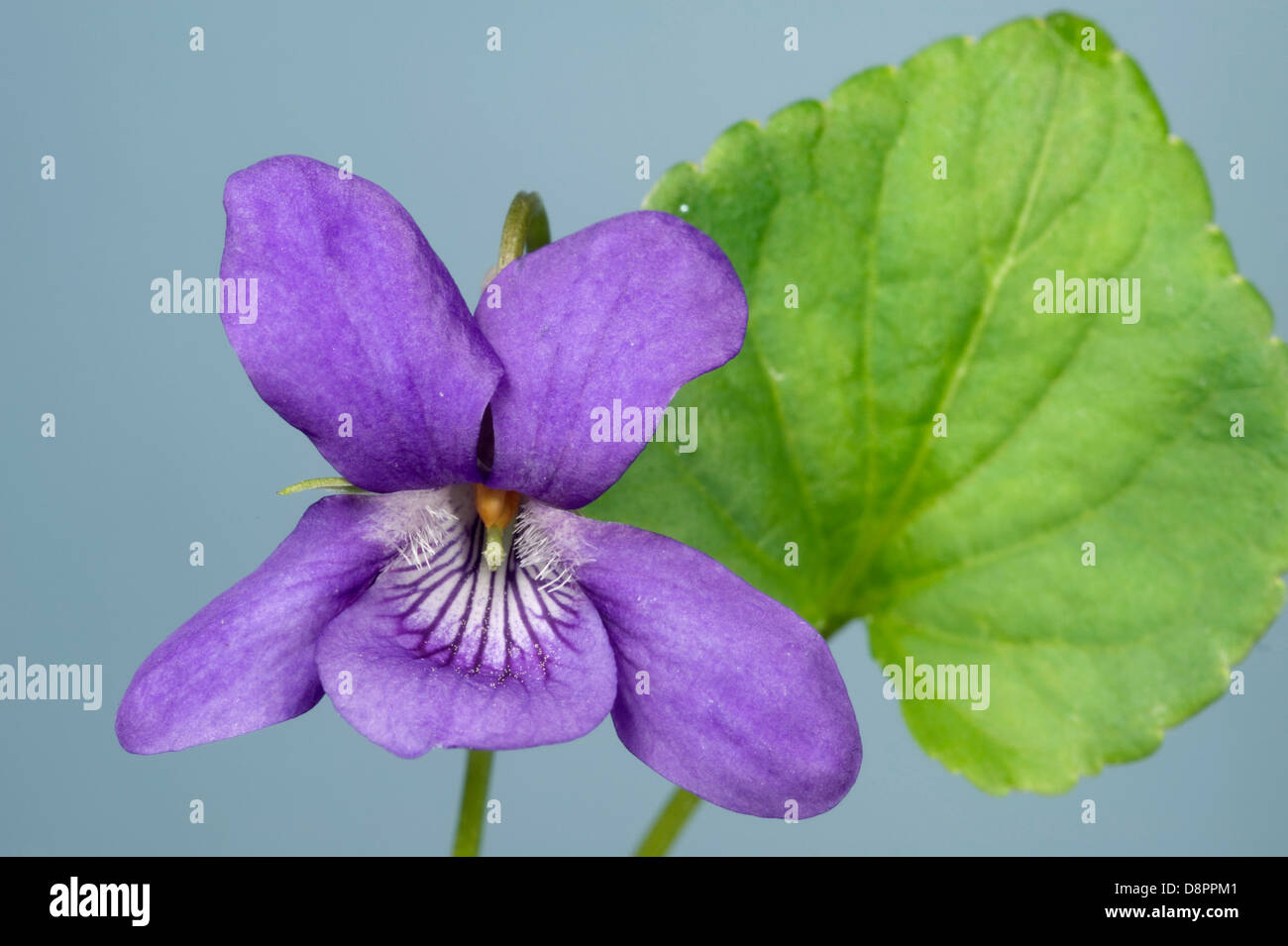 Early dog violet, Viola reichenbachiana, flower and leaf - Stock Image