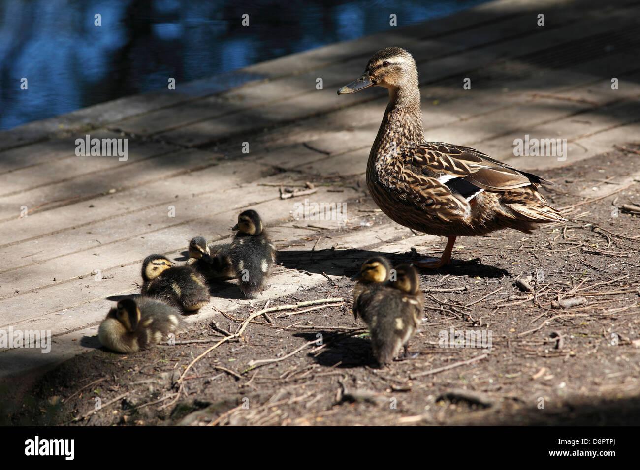 Hen Mallard duck with chicks resting in sun Milton country park Cambridgeshire Stock Photo