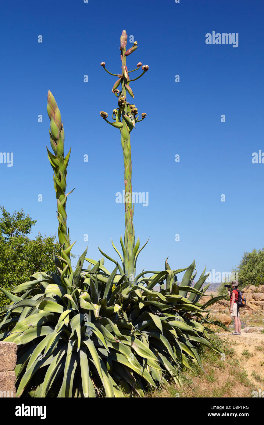 Aloe Vera Plant In Flower Specimens Growing In The Valley Of The