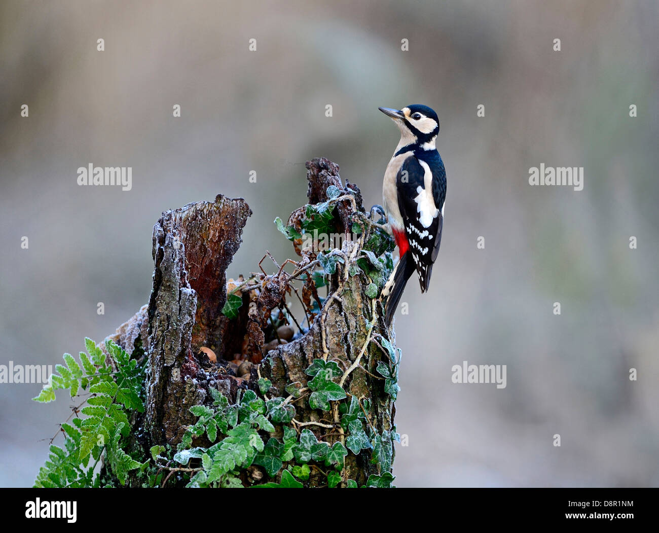 Great spotted Woodpecker Dendrocopos major Norfolk November - Stock Image