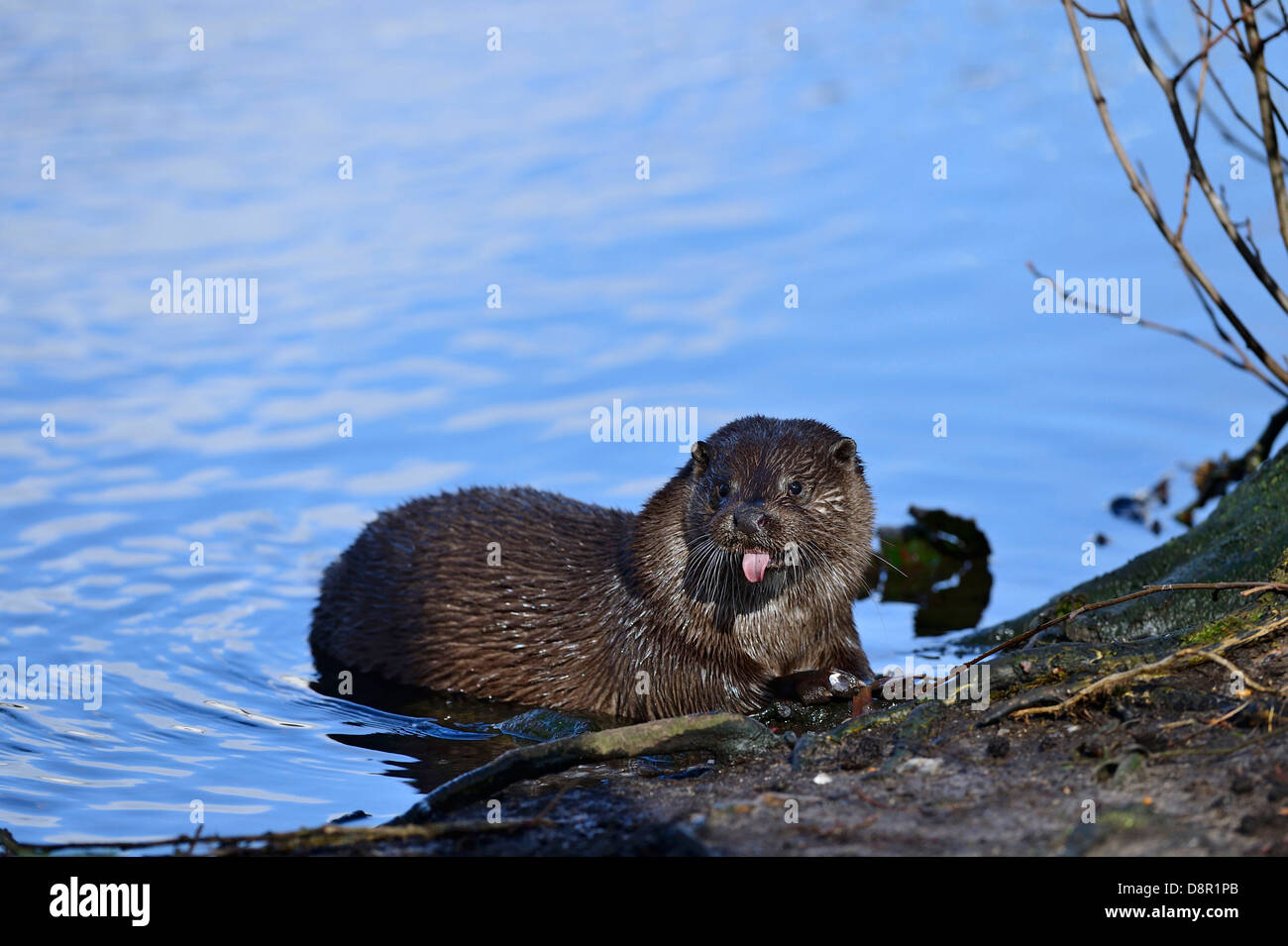 European Otter Lutra lutra on River Thet at Thetford Norfolk - Stock Image