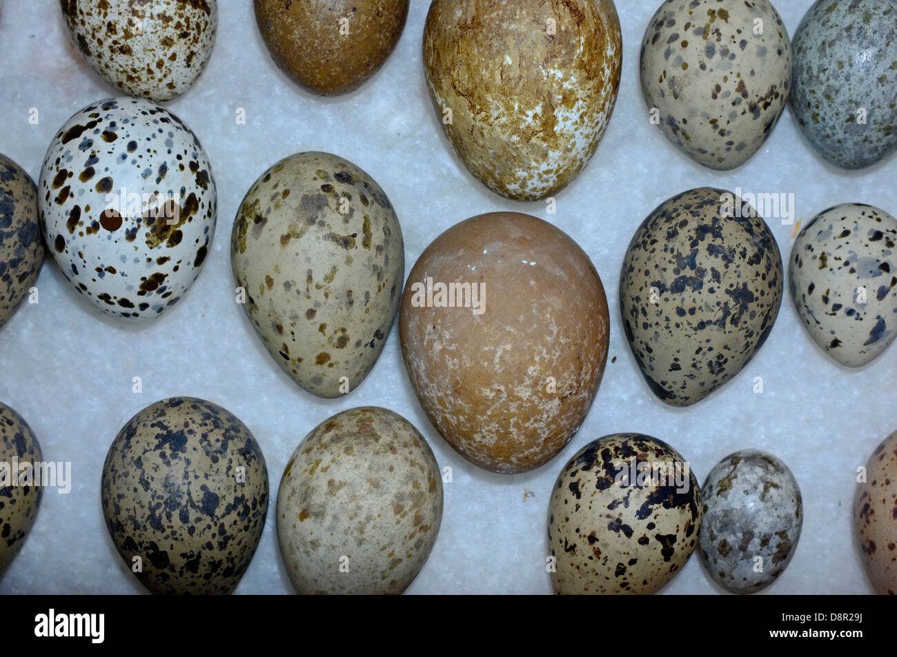 A selection of British Birds eggs from Victorian collection - Stock Image
