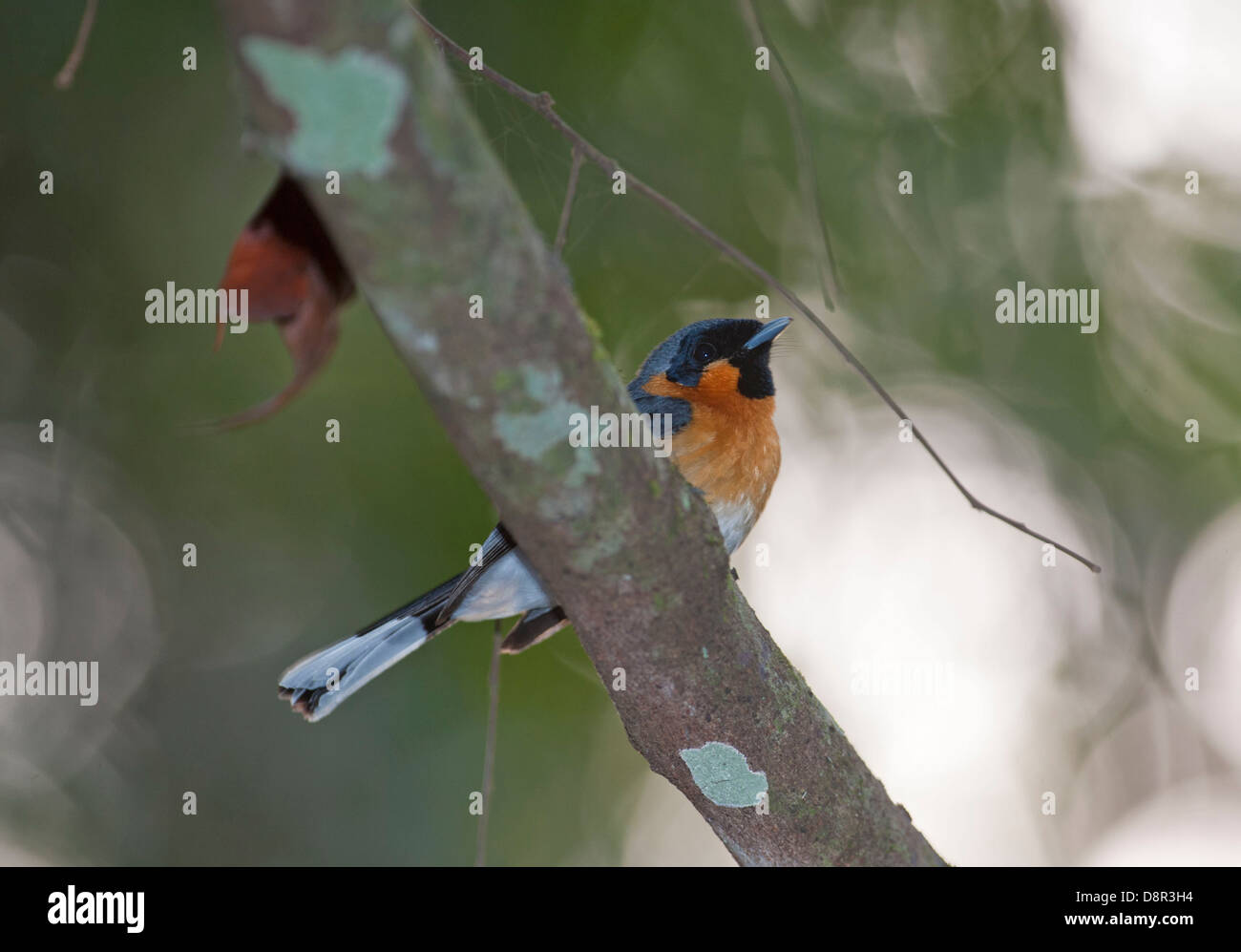 Spectacled Monarch Monarcha trivigratus Northern Queensland Australia - Stock Image