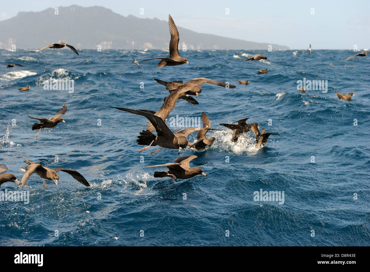 Flesh-footed Shearwater Puffinus carneipes feeding out in Hauraki Gulf off New Zealand - Stock Image