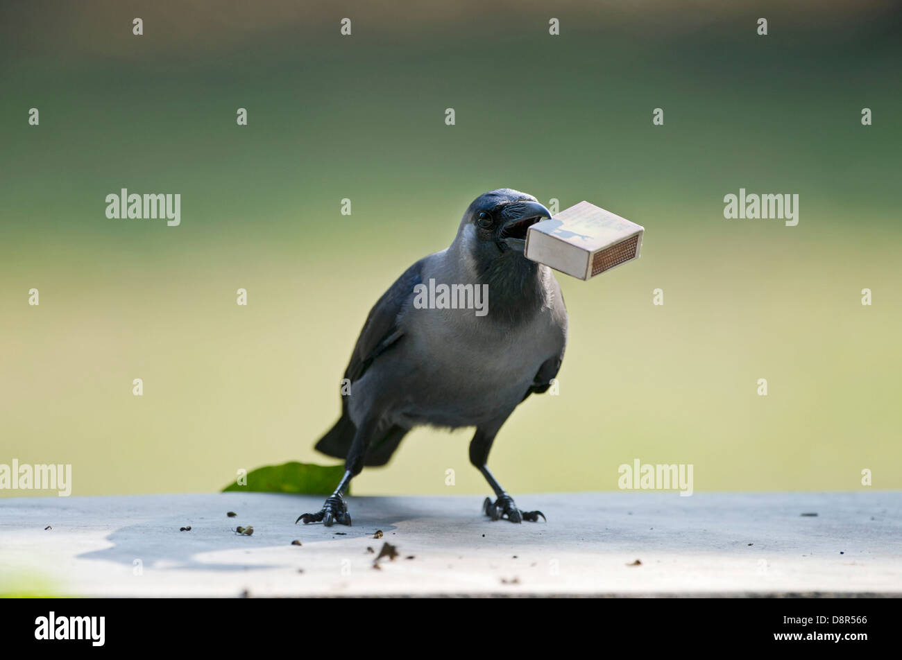 House Crow (Corvus splendens) stealing match box from table Bharatpur India - Stock Image