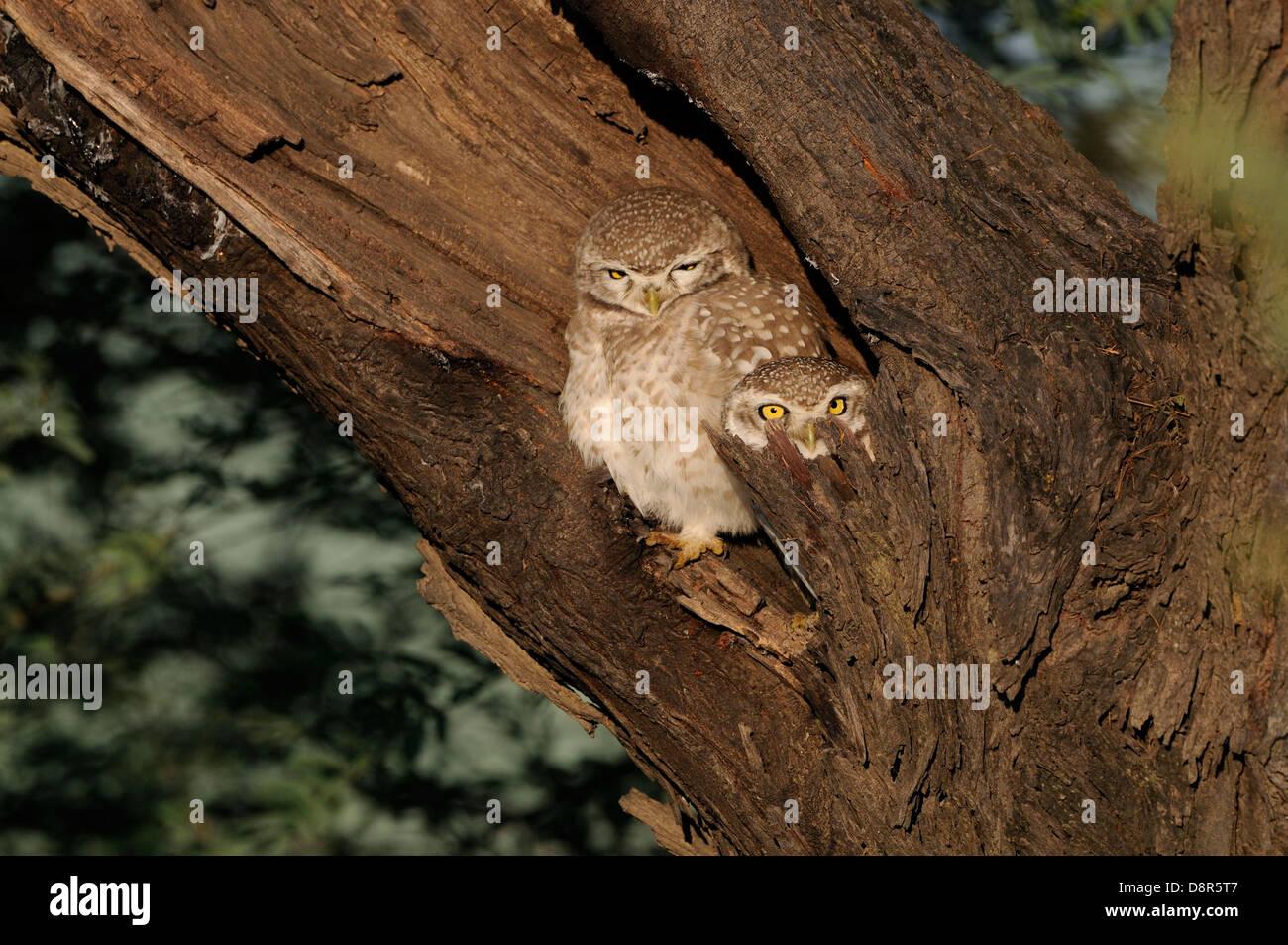 Spotted Owlet Athene brama Bharatpur India - Stock Image