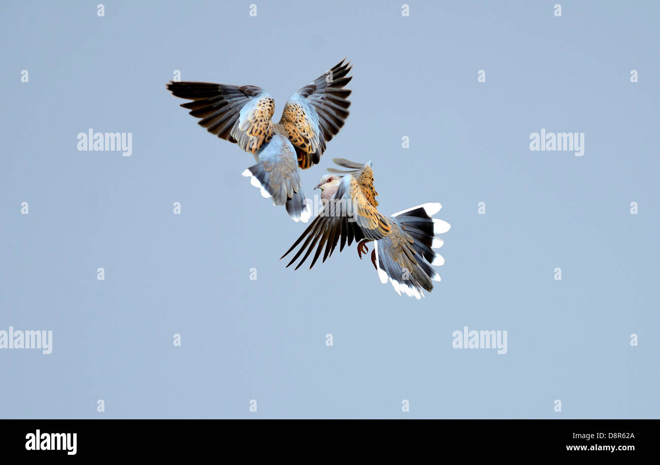Turtle Doves Streptopelia turtur courtship Norfolk June - Stock Image