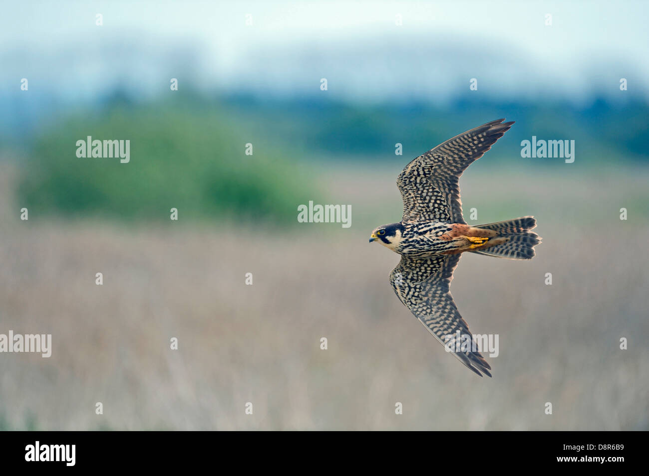 Hobby Falco subbuteo hunting over reedbed at Lakenheath Fen RSPB Reserve Norfolk / Suffolk border May - Stock Image