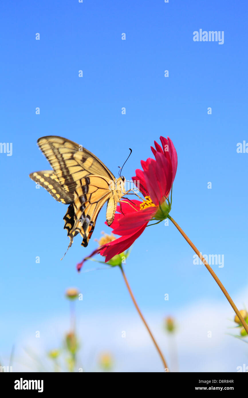 Cosmos and swallowtail butterfly - Stock Image