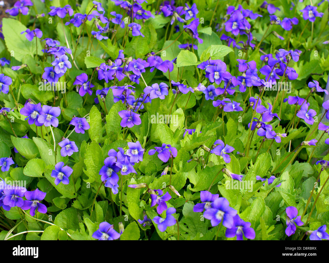 Early blue violet flowers blooming Viola palmata - Stock Image