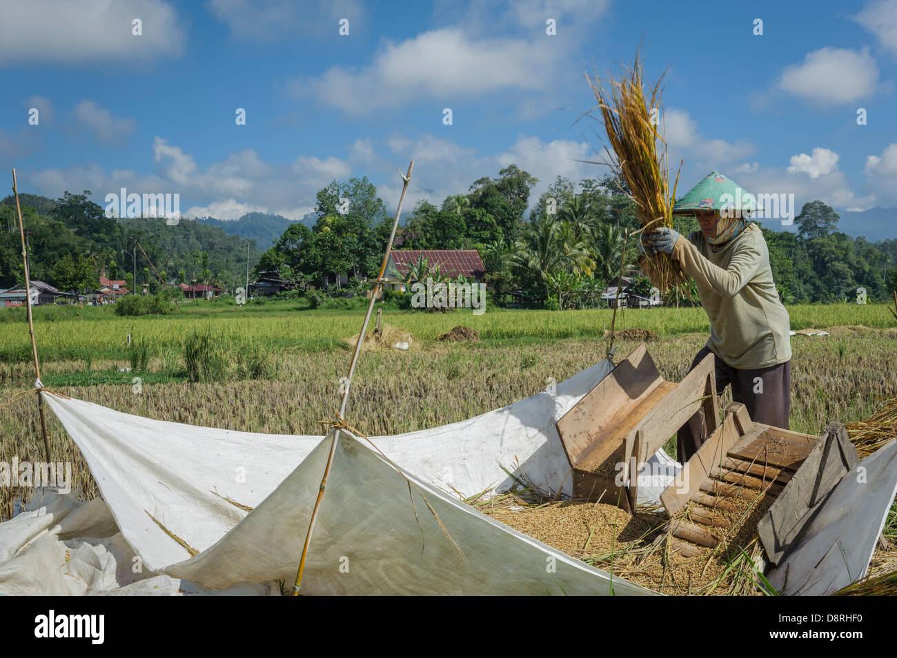 Woman threshing rice by hand, Tana Toraja, Sulawesi, Indonesia, Asia - Stock Image