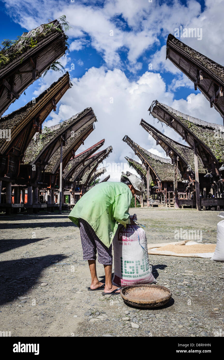 Woman drying rice on the floor, Tana Toraja, Sulawesi, Indonesia - Stock Image