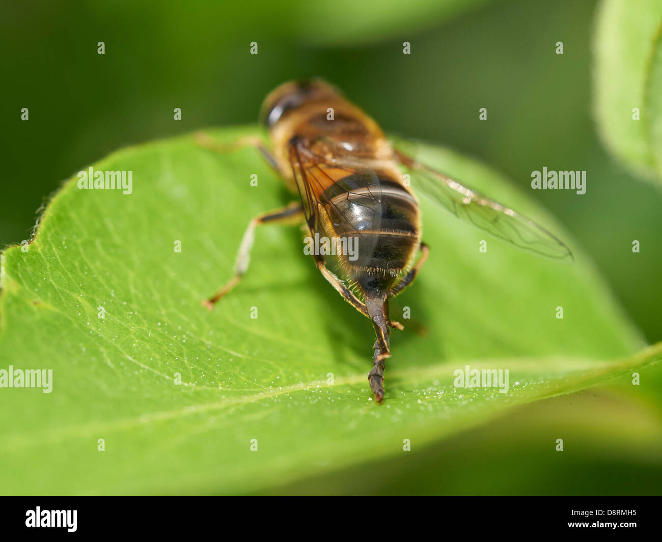 Hoverfly, Eristalis pertinax, cleaning its genitalia - Stock Image