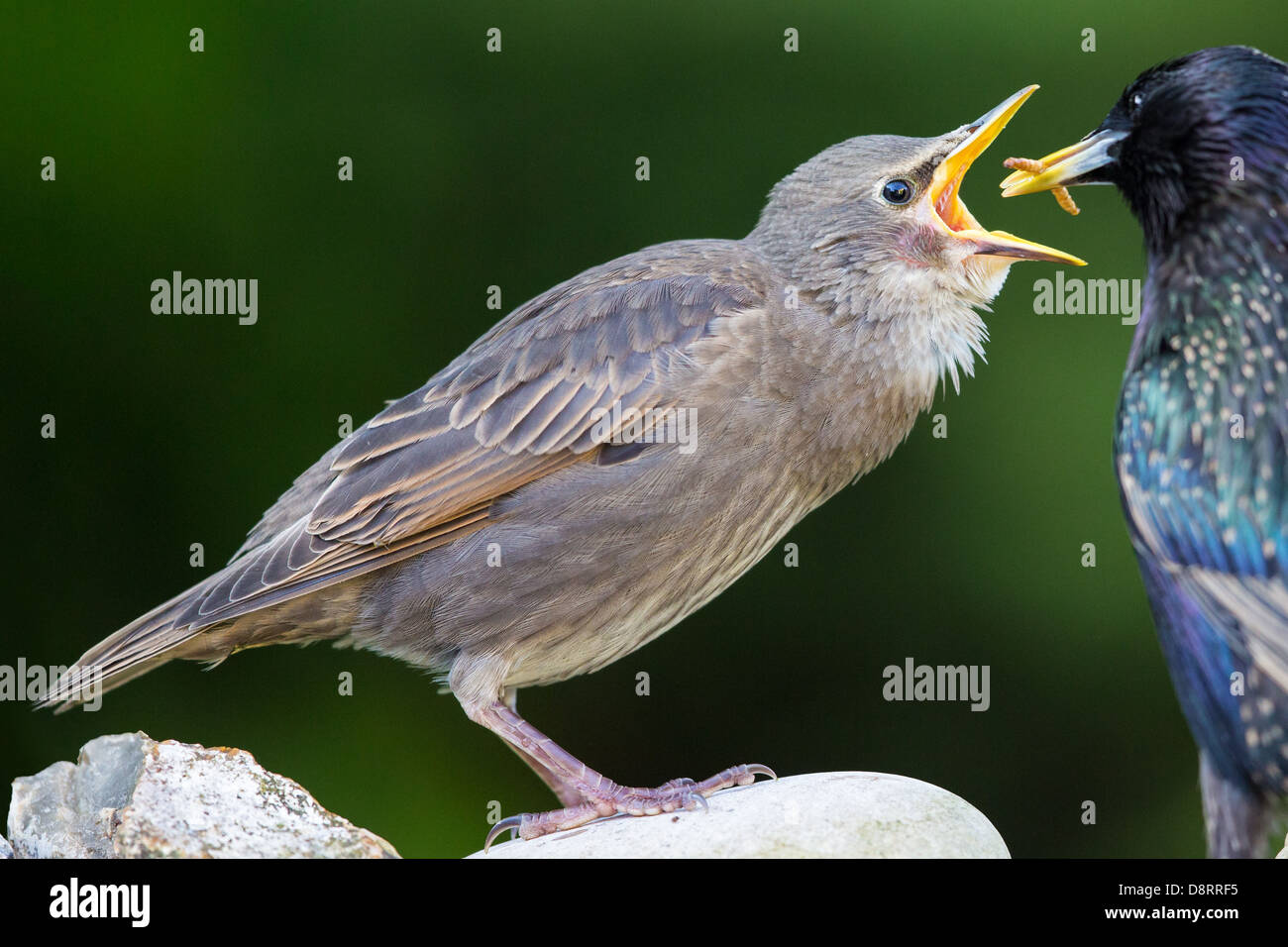 Close-up of a young starling (sturnus vulgaris) being fed by its parent, soft-focus green vegetation background - Stock Image