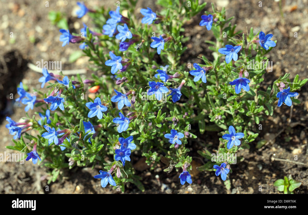 Lithodora diffusa heavenly blue flowers and plant uk stock photo lithodora diffusa heavenly blue flowers and plant uk izmirmasajfo Choice Image