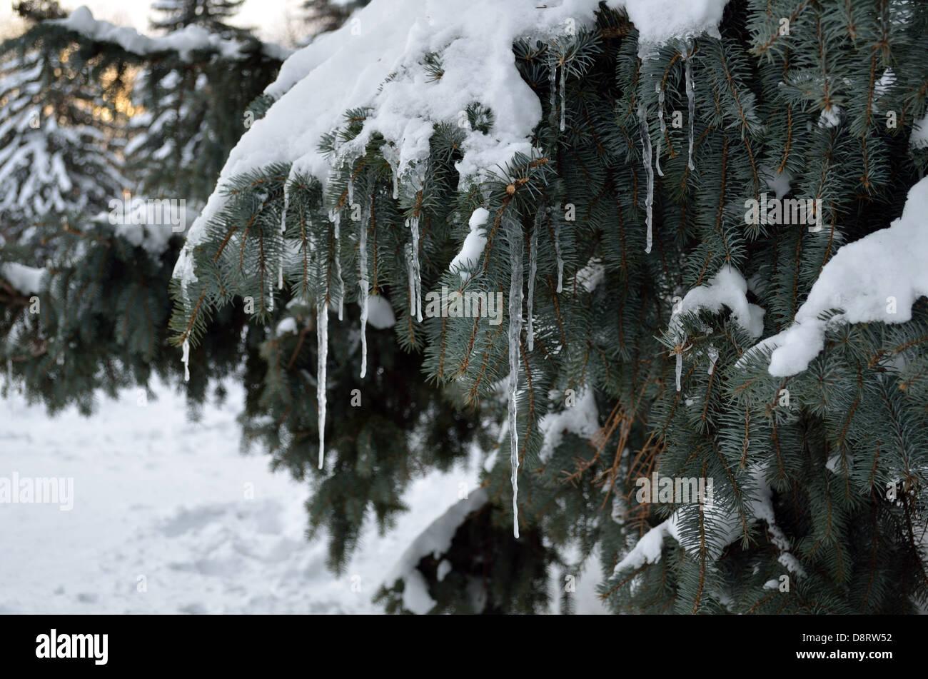 twig tree in snow with icicles - Stock Image