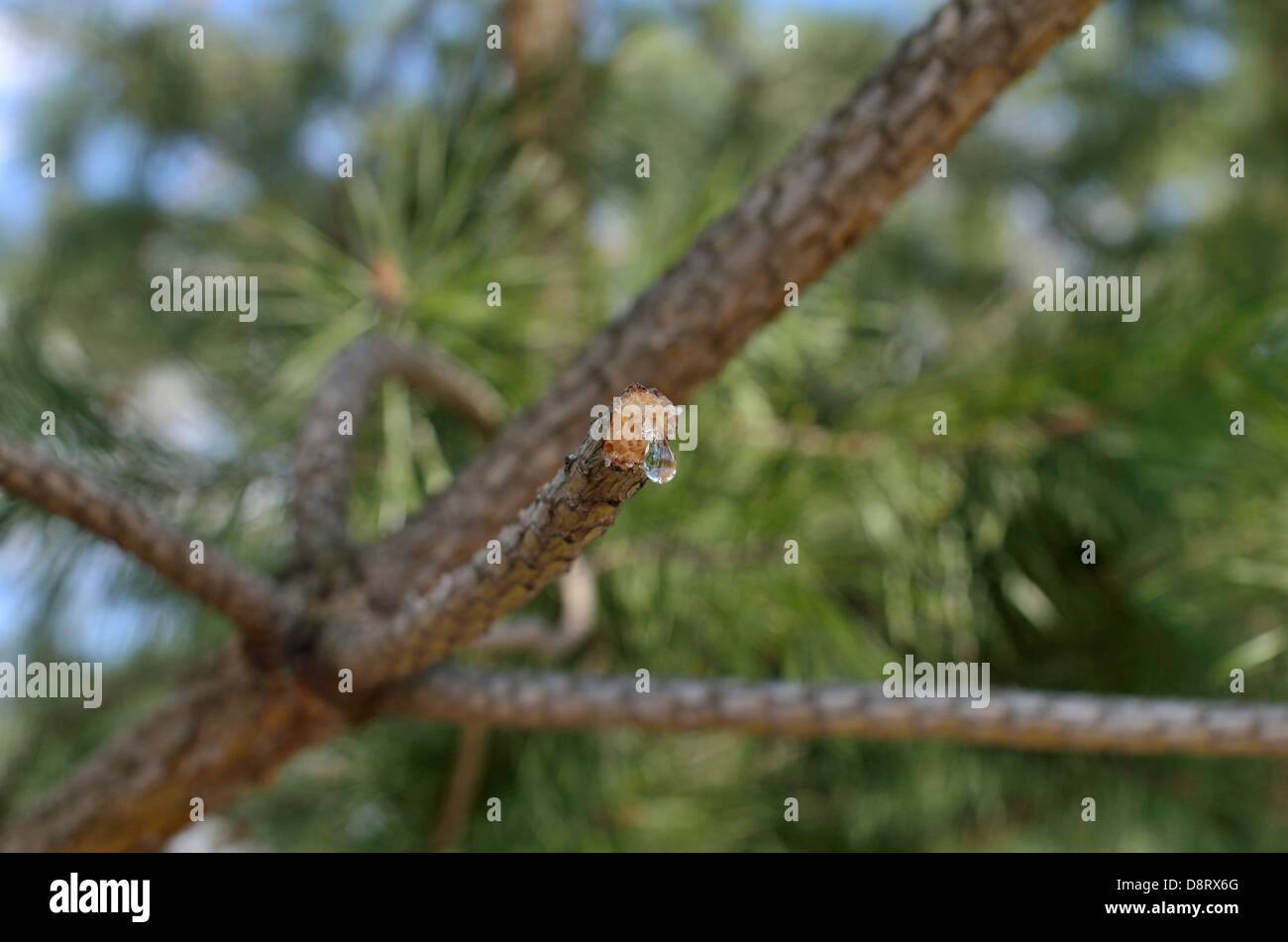 twig with a modicum of of glue on background of trees - Stock Image