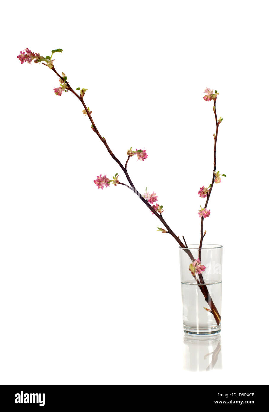 Black currant twig in blossom on white background Stock Photo