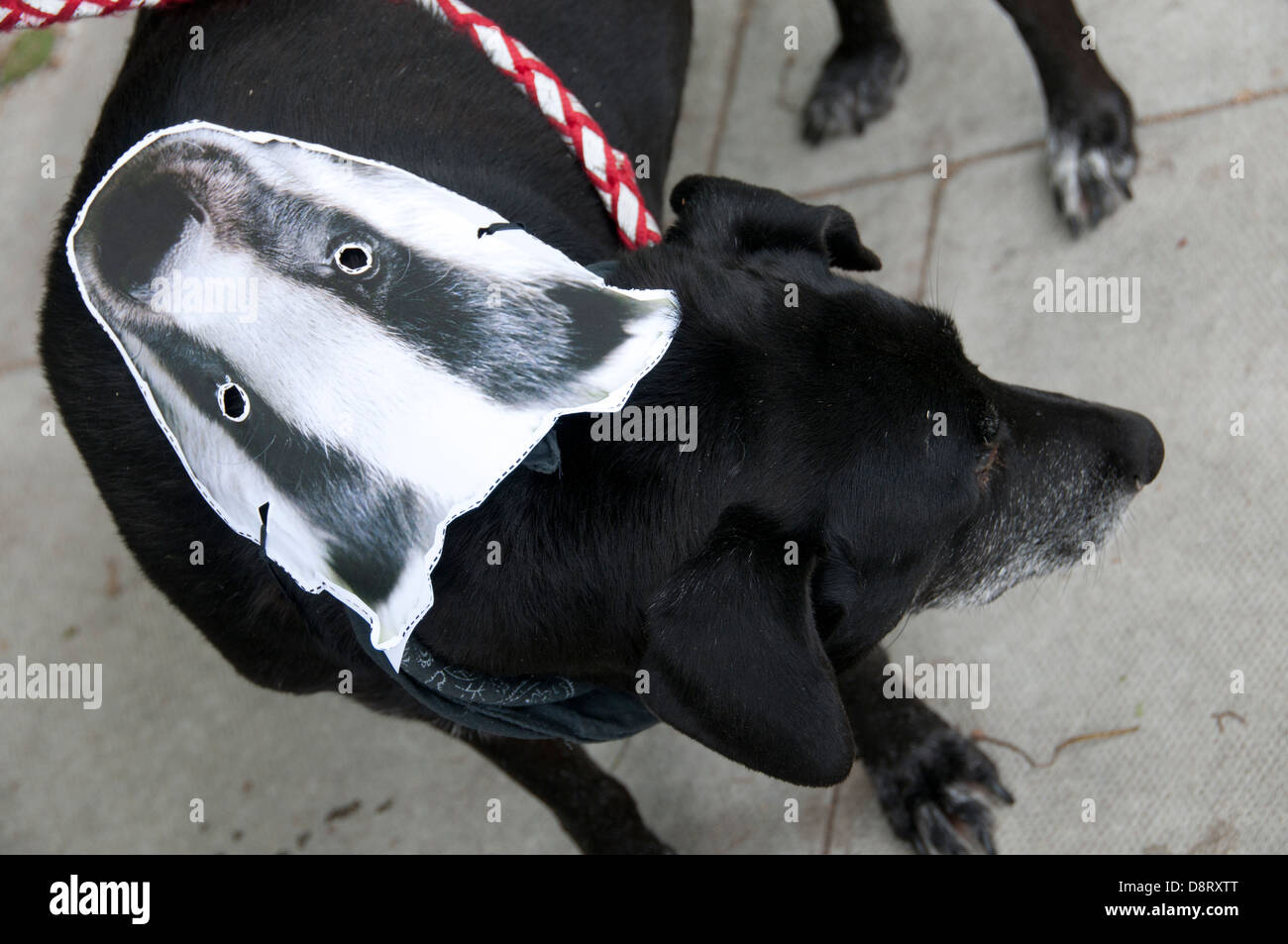 Protest against the proposed cull of badgers June 1st 2013. A dog with a badger mask on his back - Stock Image
