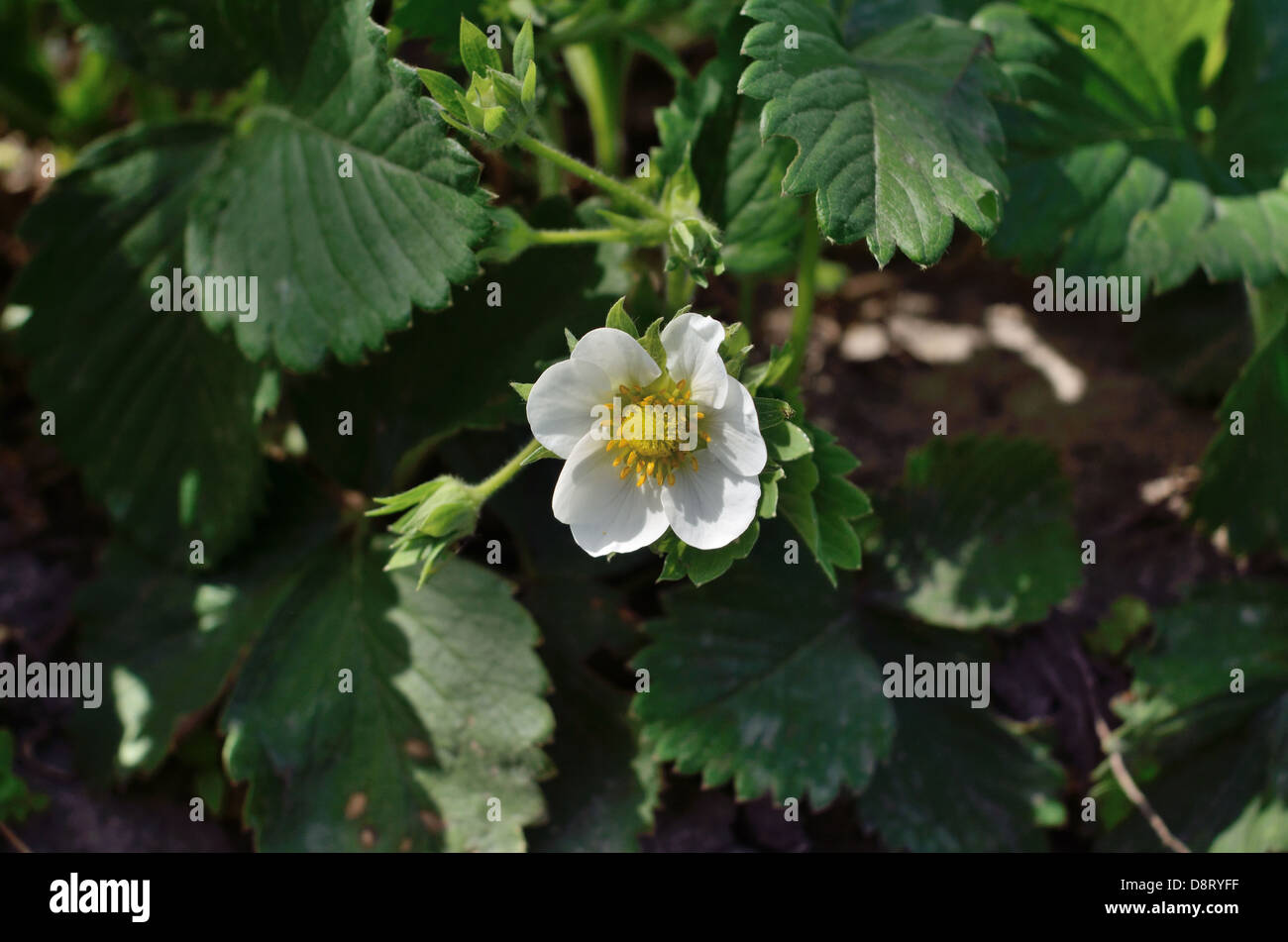 inflorescence on the background of leaves and lettings - Stock Image