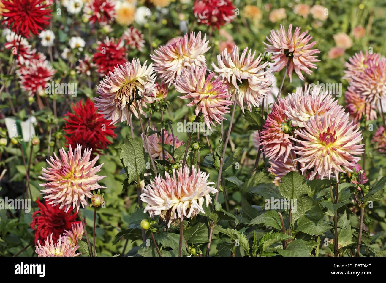 Dahlia 'Sarafina', Cactus Dahlia - Stock Image