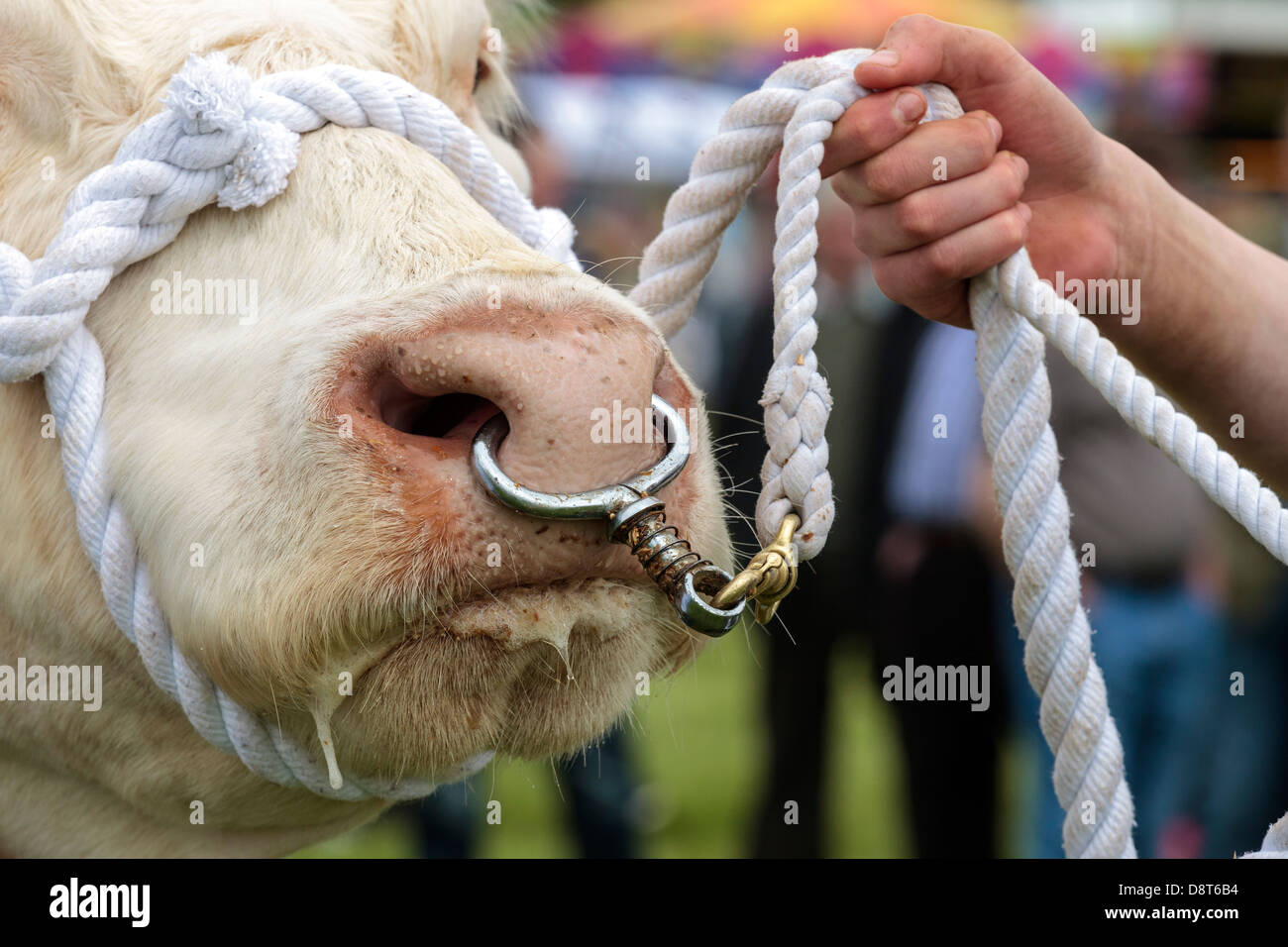 Charolais Bull Being Lead By A Rope And A Nose Ring Scotland Uk