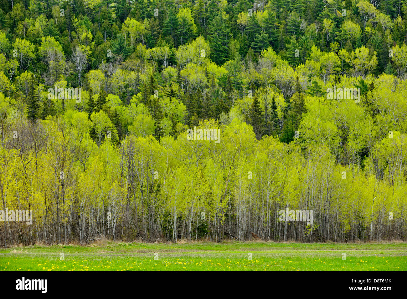 Hillside of aspens in spring with spruces Manitoulin Island- M'Chigeeng Ontario Canada - Stock Image