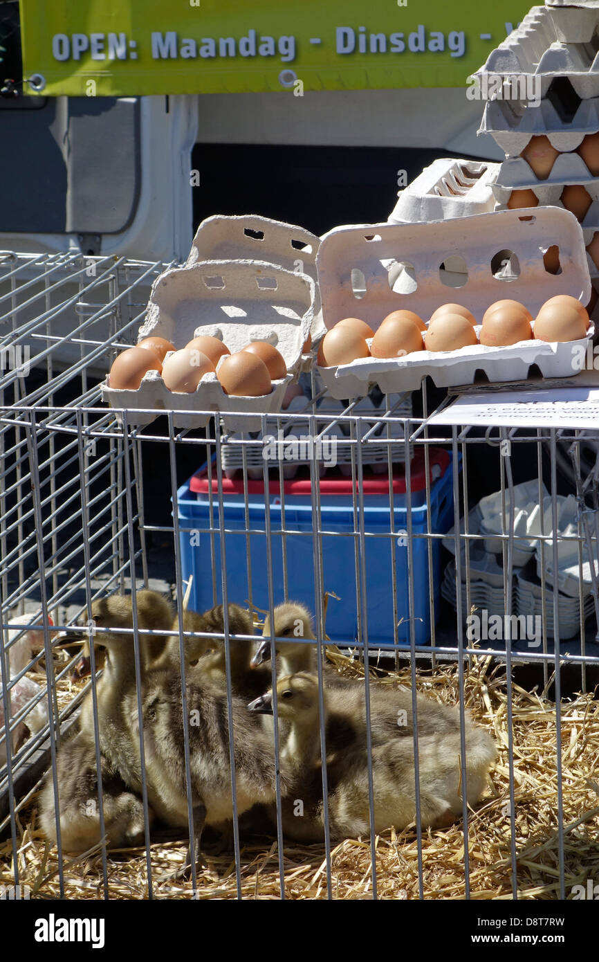 Young geese in cage and eggs for sale at poultry stand at domestic animal market - Stock Image