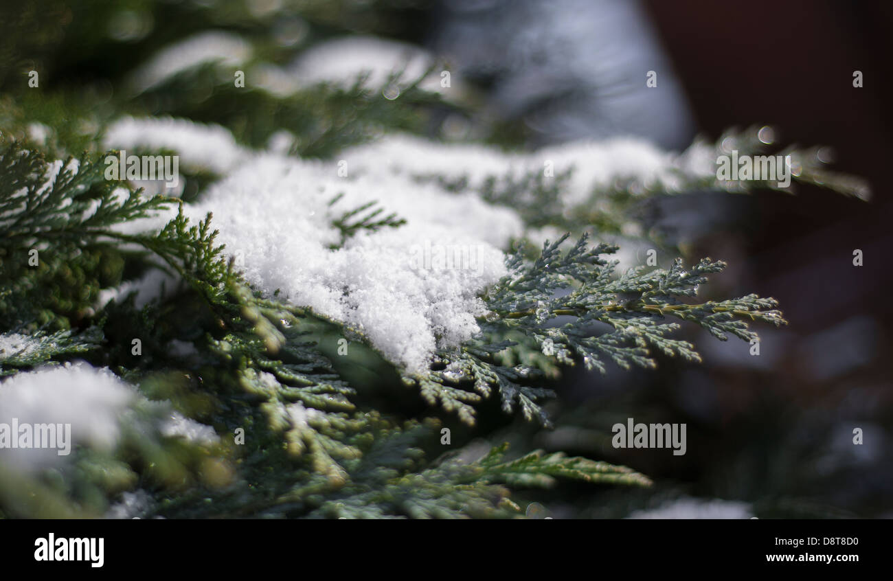 Light dusting of snow laying on the branch of a conifer tree. - Stock Image