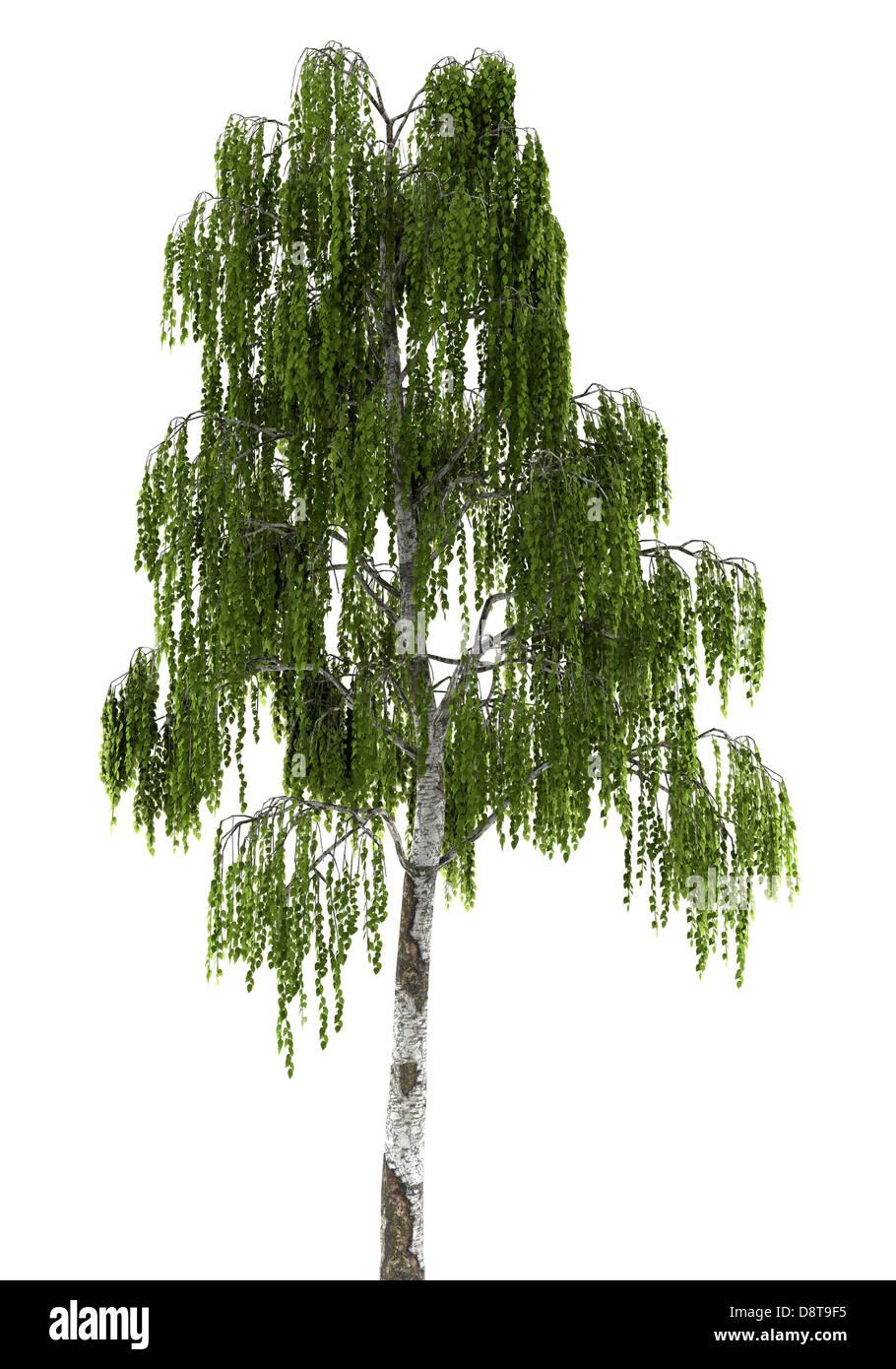 birch tree isolated on white background - Stock Image