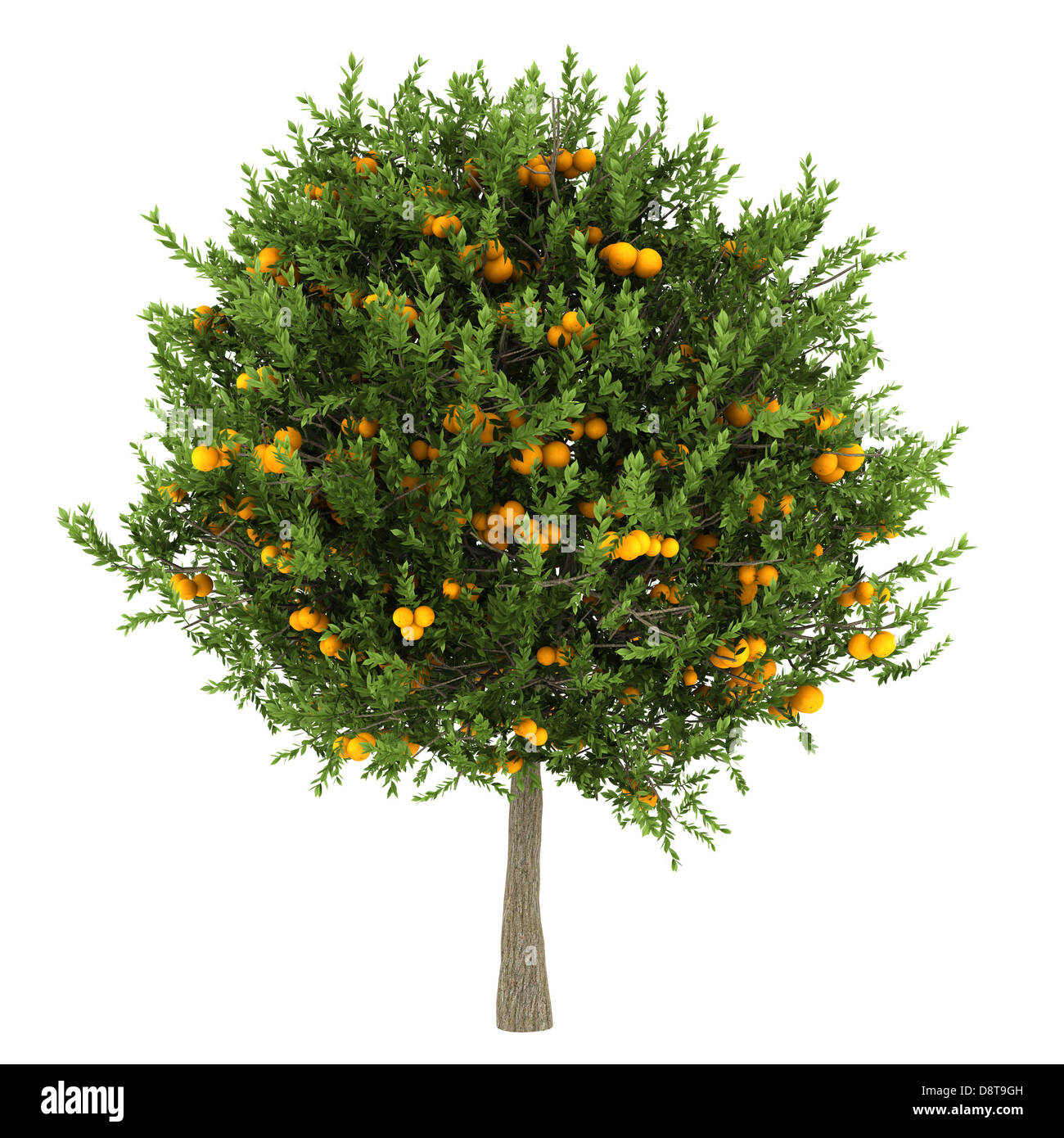 orange tree isolated on white background Stock Photo