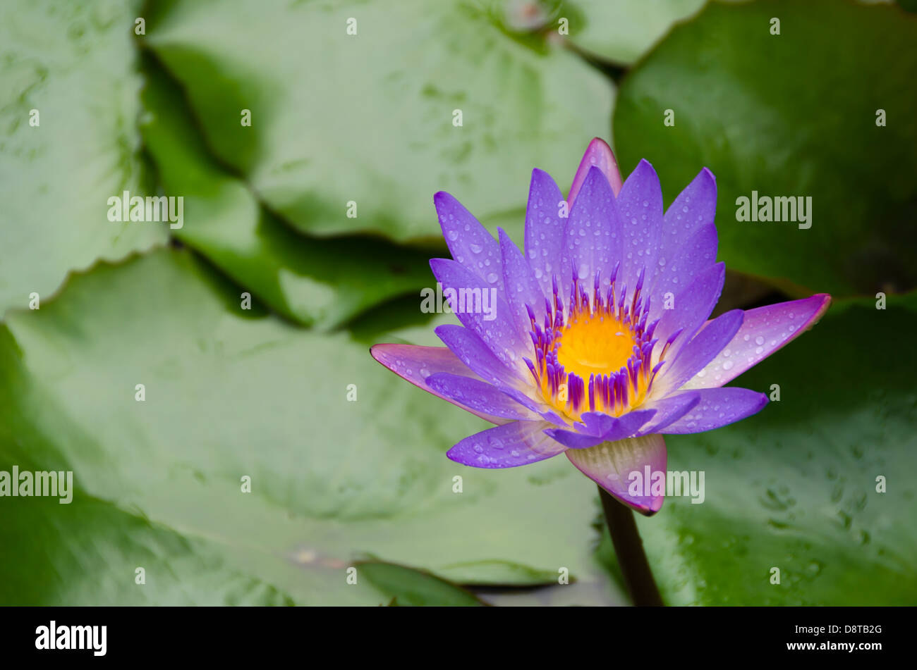 Purple flower with yellow center in a pond with a backdrop of green purple flower with yellow center in a pond with a backdrop of green mightylinksfo