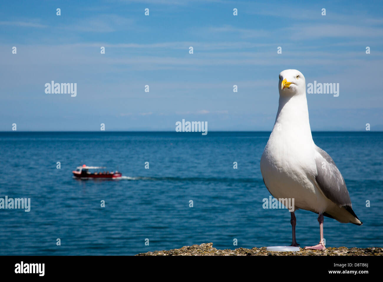 Herring gull and seaside boat trip at New Quay (Cei Newydd), Ceredigion - Stock Image