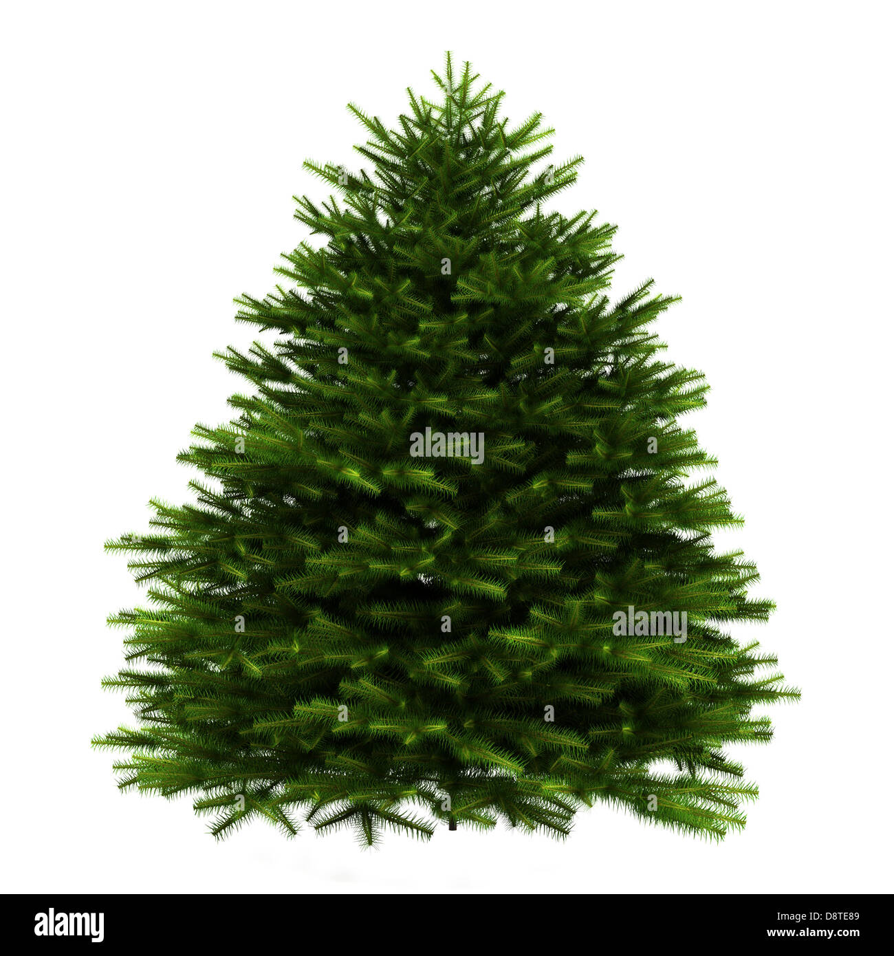 momi fir tree isolated on white background - Stock Image